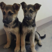2 female Puppies for sale