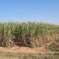 Sugar Cane Farm For Sale