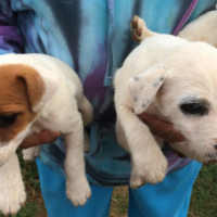 JACK RUSSELL PUPS - QUALITY PUPS, PEDIGREED/REGISTERED