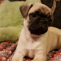 Absolutely Gorgeous Purebred Pug Puppies