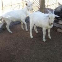 Saanen Milk Goat Rams - Phalaborwa