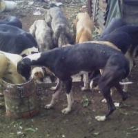 stollen black grey hound female