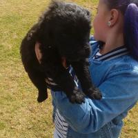 Black Russian Terrier Puppy's