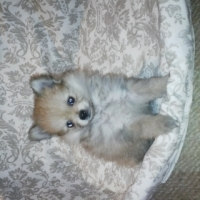 Pure bred miniature Toypom males