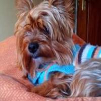 R 5.000 reward! Missing female dog yorkie pretoria east