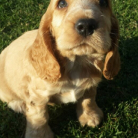 Beautiful Cocker/Water Spaniels for sale