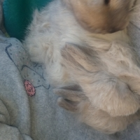 Angora Dwarf Doe 6.5 week