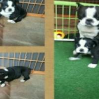 Boston Terrier Teefie