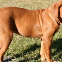 French Mastiff puppies for sale.