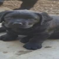black labrodor puppies
