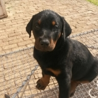 DOBERMANN PUPPIES FOR SALE