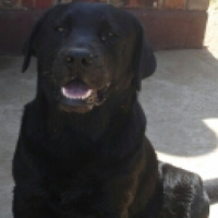 KUSA REG LABRADOR black female puppy