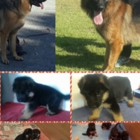 Quality Show Line German Shepherd Female Puppies