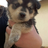 Chow crossed Labrouder Puppys