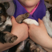 Yorkie x maltese puppies for sale
