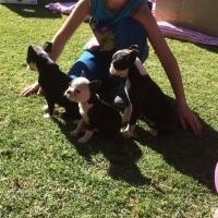 Boston Terrier Puppies - 4 Male left