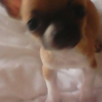 Beautiful pocket Chihuahua's for sale