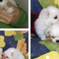 Pekingese pups, white females.