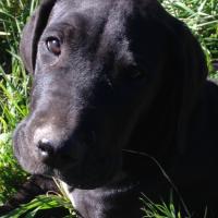 Great Dane pedigree pups x2