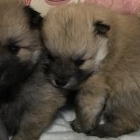 Mini Toypom Puppies