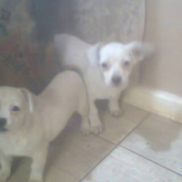 Pekingese X Jack Russell puppies