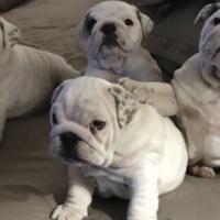 Gorgeous KUSA Registered English Bulldog puppies