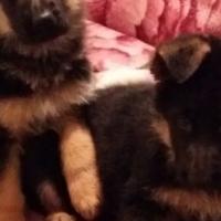 Quality Show Line German Shepherd Female Puppies