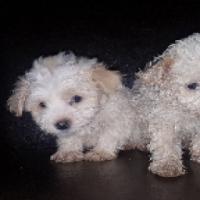 Miniature Maltese poodles