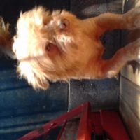 sable yorkie male for sale