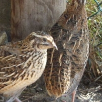 Jumbo Quail Breeding Stock