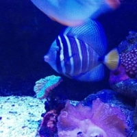 Large sail fin tang for sale