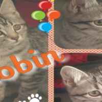 Robin - a soft and beautiful silver tabby. A CatzRUs Rescued kitten.
