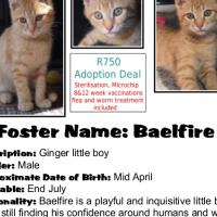 Baelfire - Ginger Male. All CatzRUs Adoptions include sterilisation, microchip, 2x inolulations