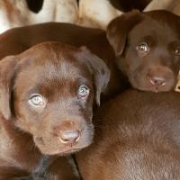 Purebred Chocolate Labrador Puppy