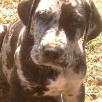 Great Dane pedigree puppies