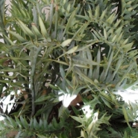 E horridus Cycad for Sale