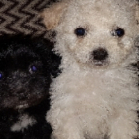 Gorgeous Medium Size Maltese poodle babies
