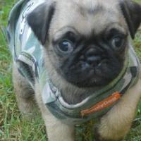 Pug Puppies - 10 Weeks