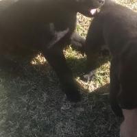Weimaraner / Ridgeback crossing puppies
