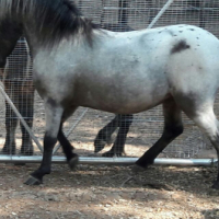Stallion miniature horse.