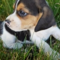 Traditional Adorable Purebred Beagle Puppies for sale