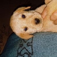 Golden and Black Labrador puppies