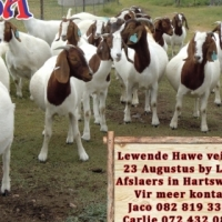 Livestock auction Wednesday 23 August at Liba Auctioneers in Hartswater