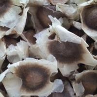 Moringa seed for sale