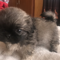 Lovely Pekingese Puppies for sale