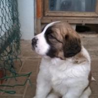 Large Breed Saint Bernard Puppies