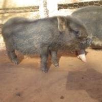 Potbelly Piglets for sale