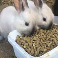 Bunnies Rabbits for sale