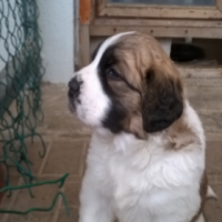 St BERNARD PUPPIES LARGE BREED