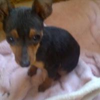 Purebred Miniature Pinscher Puppy